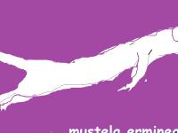 mustela-erminea